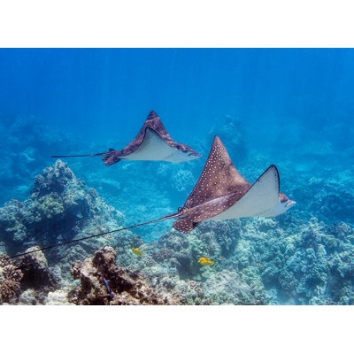 Courtship of The Magnificent Spotted Eagle Ray